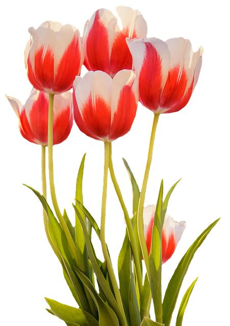 photo tulips red spring flower  image