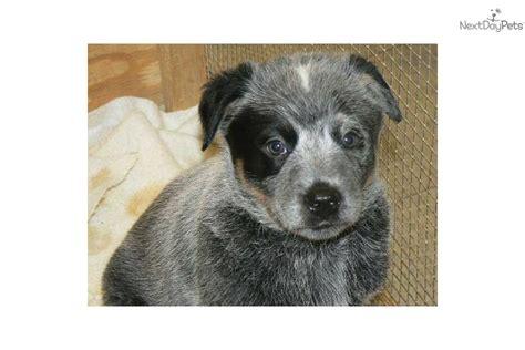 blue heeler puppies ohio australian cattle blue heeler puppy for sale near chillicothe ohio 914ad9db 2791