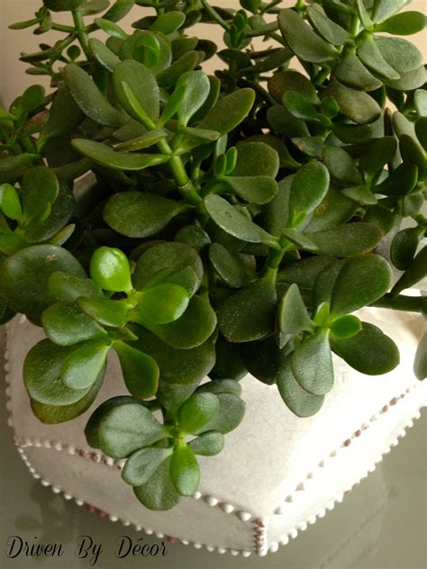 succulent plant my new succulents and fiddle leaf fig tree and the master