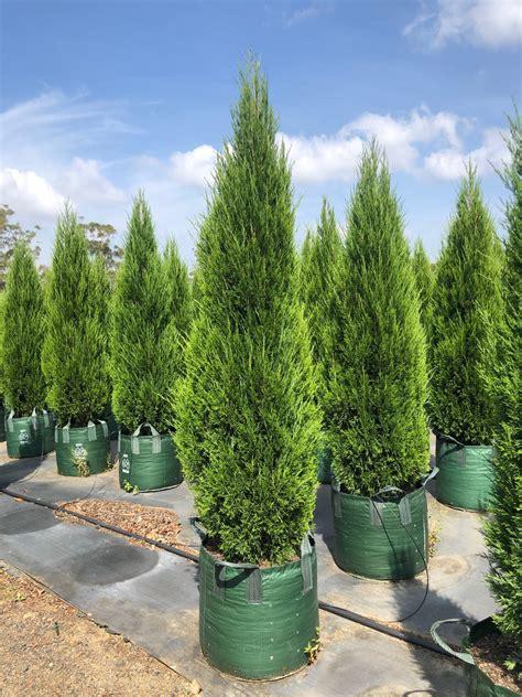 juniperus chinensis spartan conifer large instant