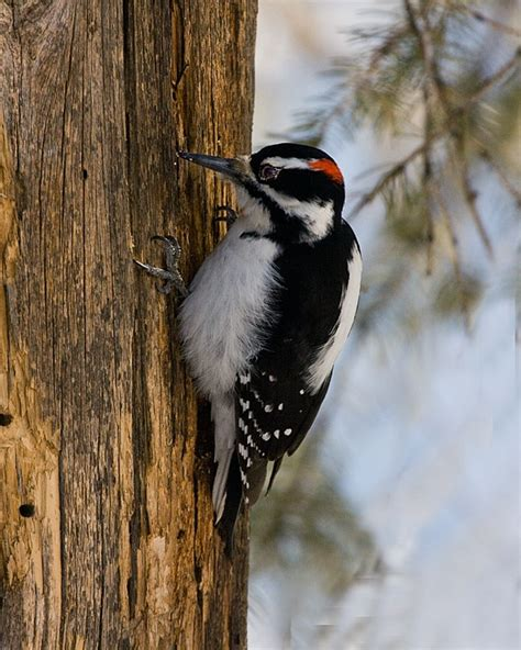 181 best images about woodpeckers on pinterest canada