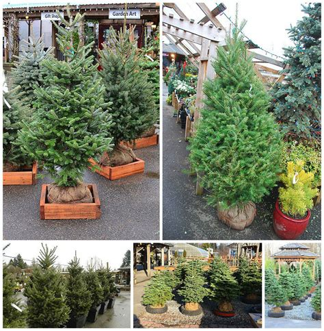 living xmas trees for sale best images collections hd for gadget windows mac android