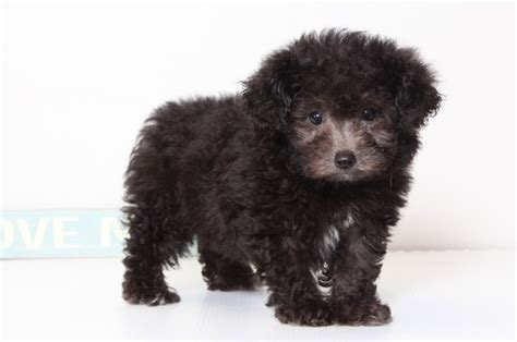 puppies for sale naples fl view ad poodle puppy for sale florida naples usa