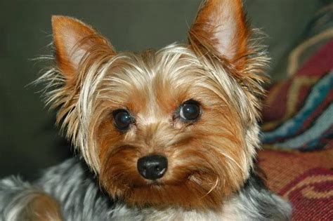 i want a yorkie puppy 20 things all yorkie owners must never forget sivar es humor