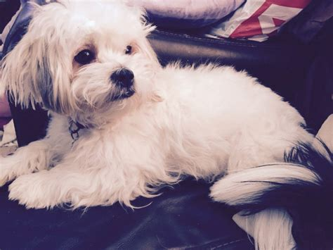 maltese cross with shih tzu maltese cross shih tzu 1 year chelmsford essex pets4homes