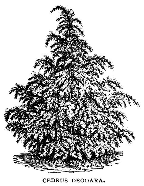 black and white graphics botanical spruce tree