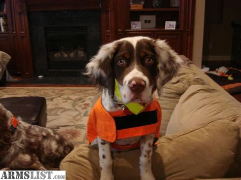 llewellin setter dogs for sale armslist for sale 8 mo old male llewellin setter male puppy