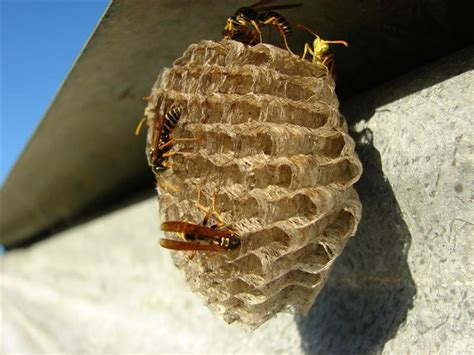 Bees That Make Paper Nests - bees wasps and hornets how to recognize and handle them