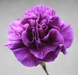 flowers in bulk purple carnations carnations wholesale carnations bulk carnations buy carnations