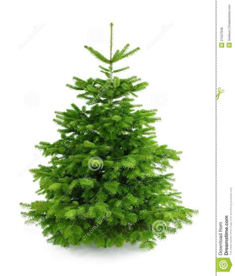 tree without ornaments fresh tree without ornaments royalty free stock images image 21507949