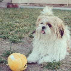 shih tzu fever shih tzu on shih tzu lhasa apso and ewok