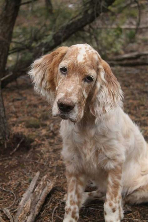 Lemon Setter Dog | 618 best i love irish setters other setters too images