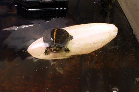 aquatic turtle basking light proper lighting for your turtle habitat