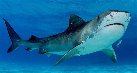 imagenes de lutos blancos curiosidades sobre los tiburones