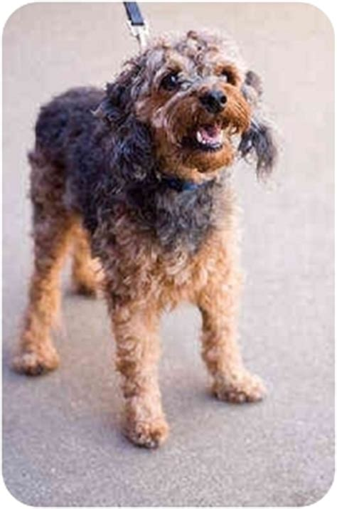 yorkie and miniature poodle mix chewy adopted portland or yorkie terrier miniature poodle mix