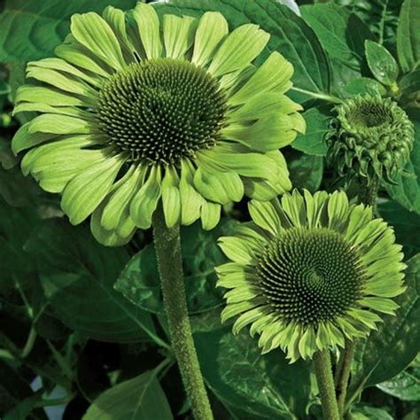 shop green jewel coneflower at breck s