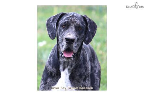 great dane puppies iowa great dane puppy for sale near des moines iowa 85667770 4531