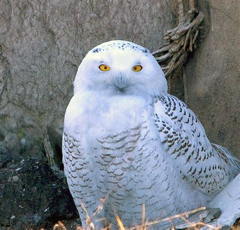 snowy owl invasion becomes official indiana dunes birding