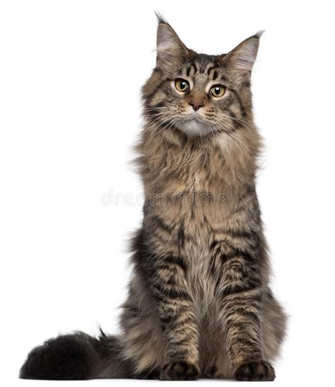 Kaos 3d Kucing Cat All Size maine coon cat 7 months sitting stock image image