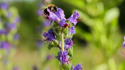 Herbal Bee Alfalfa A Macro Closeup Of A Honey Bee Pollinating A Purple
