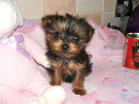teacup yorkie puppies for sale uk pedigree tiny teacup yorkie puppy ready now bradford west pets4homes