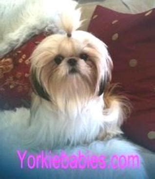 teacup shih tzu shih tzu puppies teacup shih tzu shih tzu for sale breeder teacup miniature