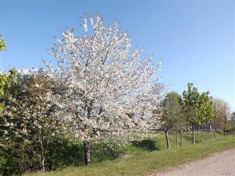apfelbaum pflanzen wann apfelbaum schneiden wann b ume obstb ume apfelbaum
