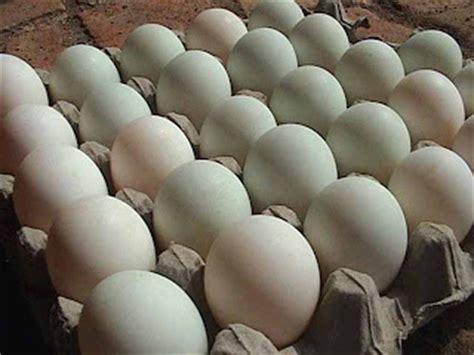 cara membuat telur asin itik manfaat telur itik bagi kesehatan