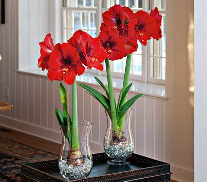 Amaryllis Im Glas Mit Moos by Amaryllis Bulbs In Glass White Flower Farm