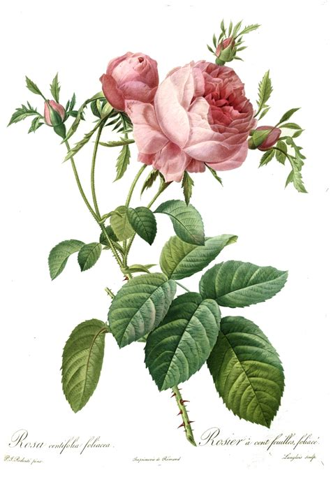 libro the botanical art files file redoute rosa centifolia foliacea jpg wikimedia commons