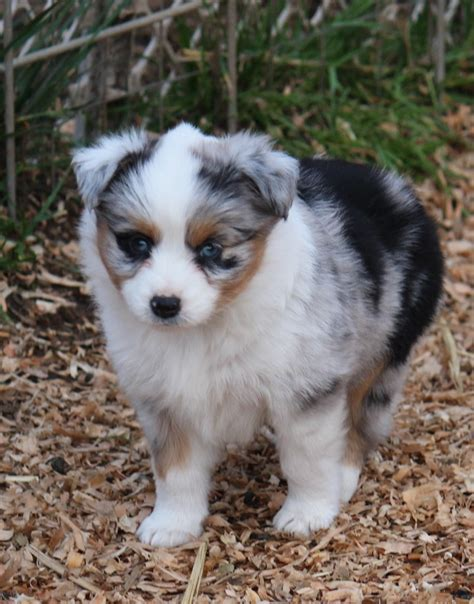mini aussie puppies oregon miniature australian shepherd puppies for sale oregon breeds picture