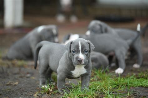 bull terrier puppies for sale in ga american pit bull terrier puppies for sale atlanta ga 265592
