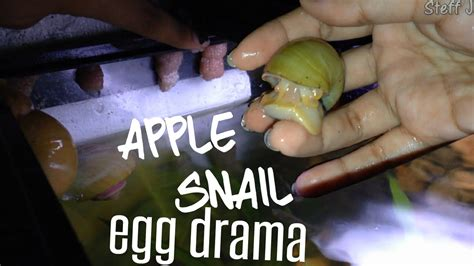 getting rid of apple snail eggs how i do it