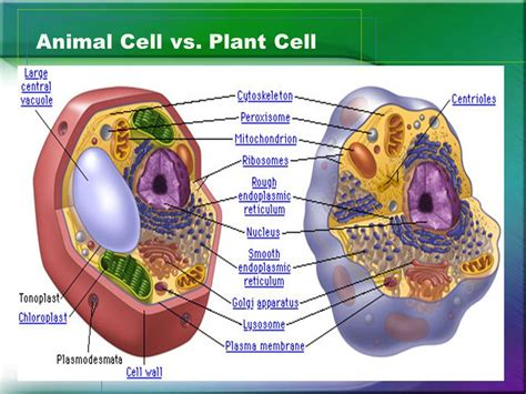 animal cell vs plant cell venn diagram plant cell vs animal cell venn diagram 28 images