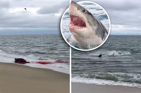 shark cape cod shark attack cape cod kills seal in shock