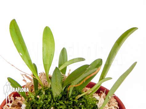 Panci Kalakat 40 Cm Orchid Limited 1 araflora flora more orchid muscarella macroblepharis