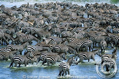 zebra migration pattern zebras crossing mara river on migration kenya