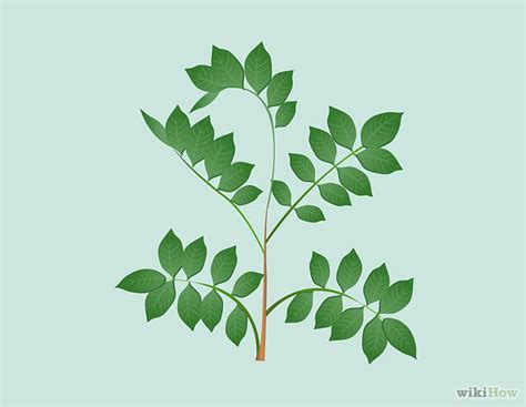 poison ivy oak and sumac information center www 20 best poison oak ivy sumac images on pinterest