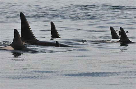 orca whales arrive on oregon coast for yearly visit