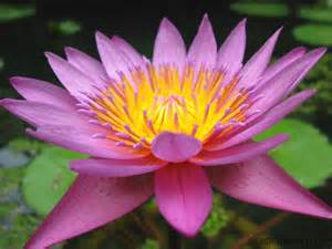 National Flower Lotus India Indian Ayurveda And