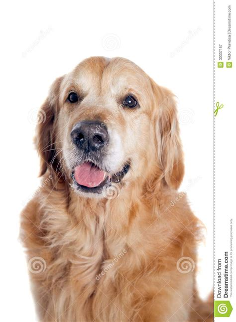 golden retriever portrait golden retriever portrait royalty free stock photography image 30337167