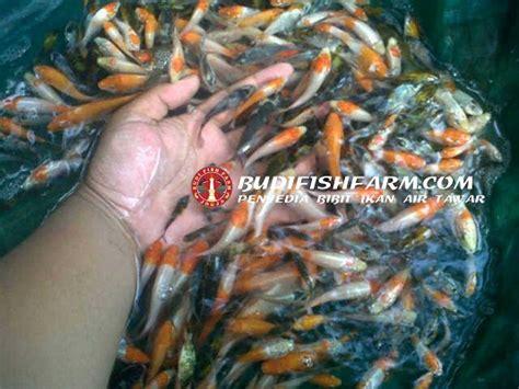 Benih Ikan Koi Murah budi fish farm grosir bibit ikan air tawar jogja budi