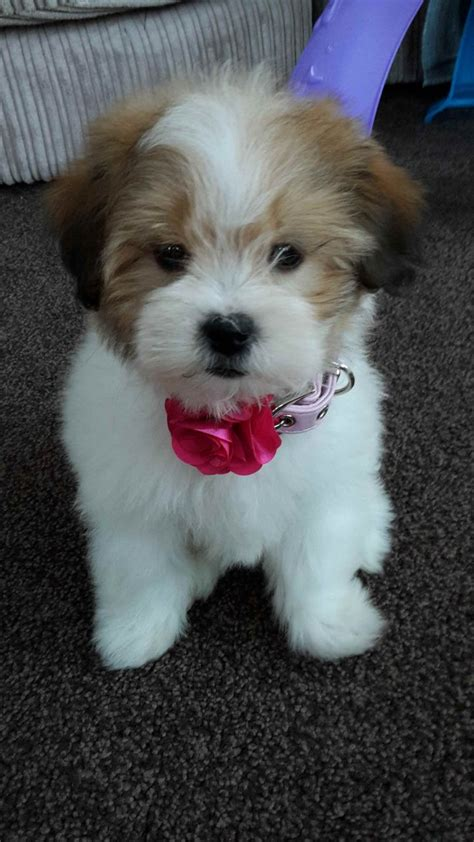 hypoallergenic dogs for sale 10 week lhasa apso puppy hypoallergenic barnsley south pets4homes