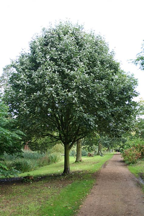 silver leaved whitebeam sorbus aria lutescens 171 chew