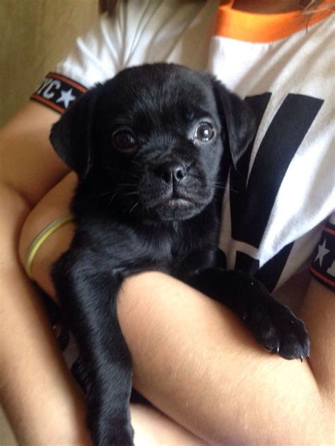 black lab and pug mix pug yellow lab mix www imgkid the image kid has it