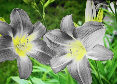 Flower Grey by Grey Flowers By Pyettbarry On Deviantart