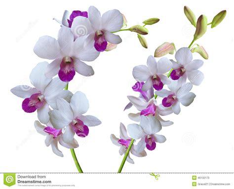 imagenes de lilas blancas ramifique com as orqu 237 deas das flores brancas foto de