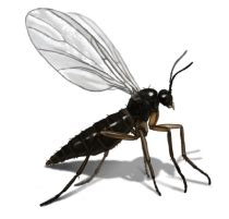 Fruit Flies Vs Gnats Gnat Control Get Rid Of Gnats In House
