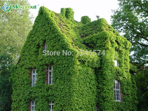 compare prices on hedera shopping buy low - Green Climbing Plants