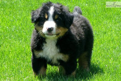 bernese mountain puppies price bernese mountain puppy for sale near lancaster pennsylvania 57976ccc 05d1